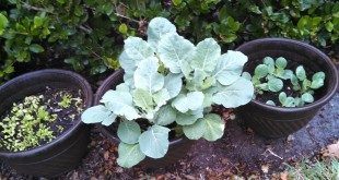 Collards – Grow Your Own