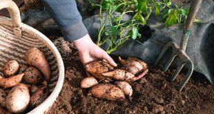 Sweet Potato: A Summer Crop